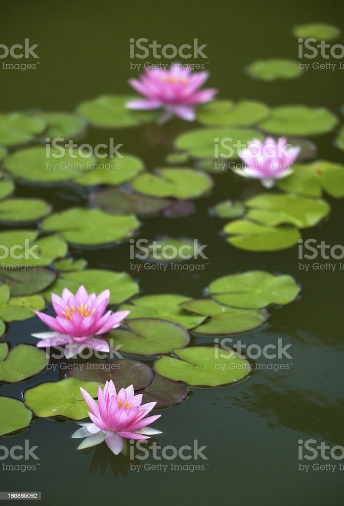 pink water lilies on a dark pond royalty-free stock photo
