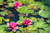 Three pink water lilies on a pond.