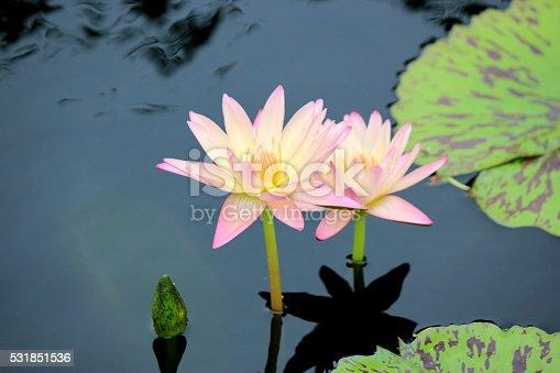 Gorgeous pink lotus, lotuses