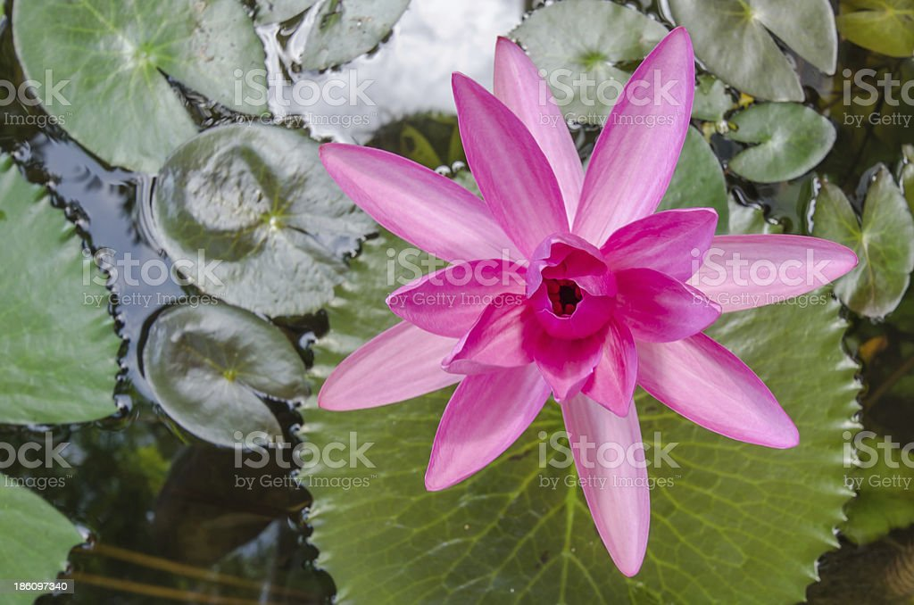 pink water lilly royalty-free stock photo