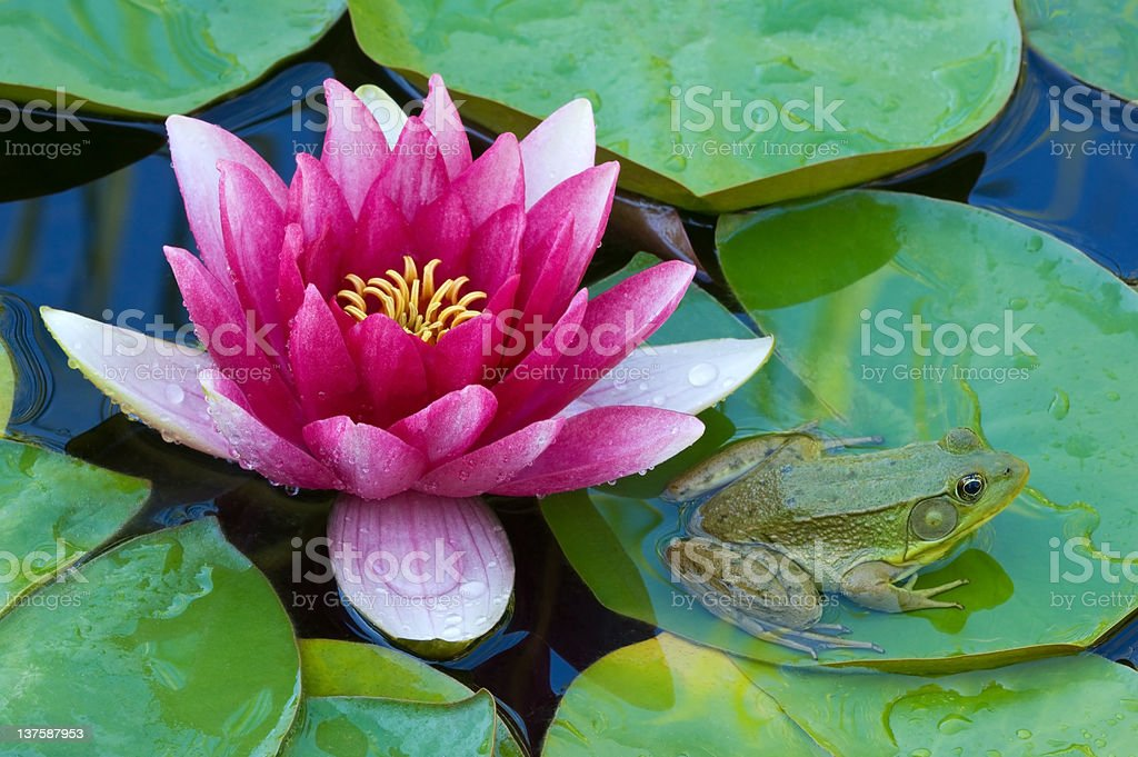 Pink Water Lily and Green Frog royalty-free stock photo