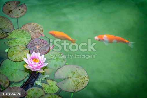 Pink Water lily and koi carp in garden pond.