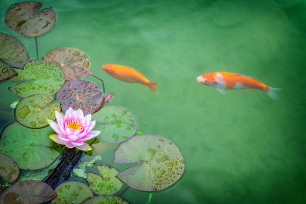Pink Water lily and koi carp