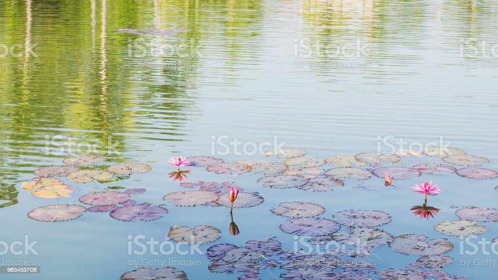 różowa lilia wodna i odbicie drzew - Zbiór zdjęć royalty-free (Bez ludzi)