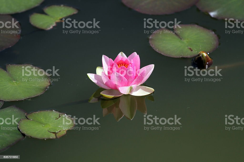 Pink water lily flower blossom in the lake summertime royalty-free stock photo