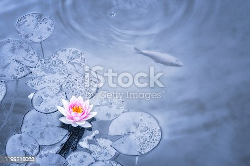 Pink Water Lily and Koi carp in pond.