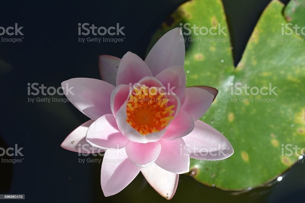 Pink Water lily in pond Close up royalty-free stock photo