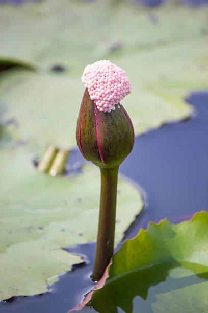 pink water lily nymphaea masaniello among green leaves - masaniello foto e immagini stock