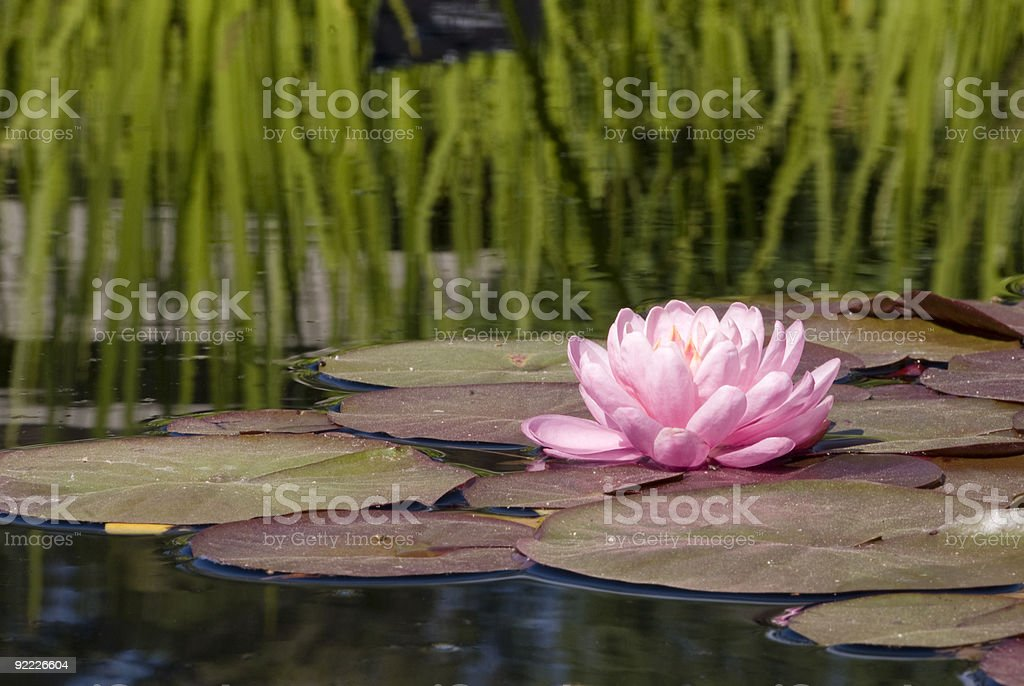Pink water lily on a lily pad in a pond. stock photo