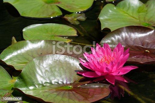 The brilliant pink flower of water lily. Taken in Kochi pref., Japan.