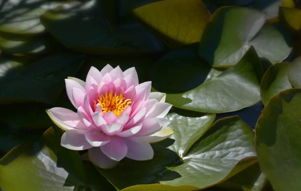 rosa Seerose – Foto