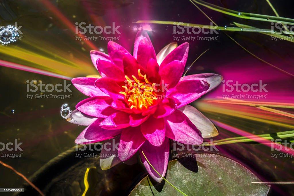Pink Water Lily стоковые фото Стоковая фотография