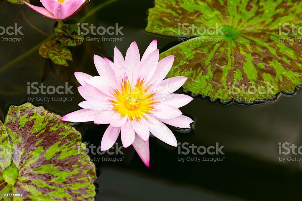 Pink water lily, top view, copy space stock photo