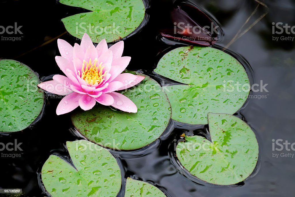 Pink water lily with green leaves on the lake royalty-free stock photo