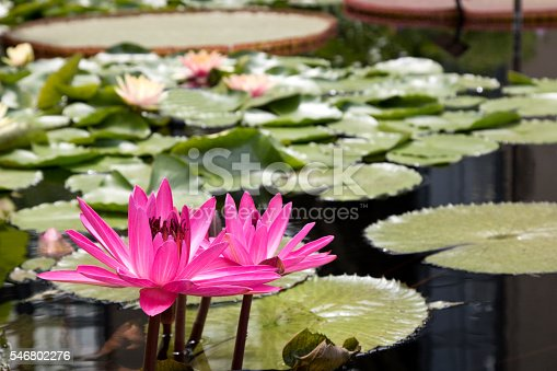 Pink Waterlilly in pond with Lilly pads, saturated color.  Image shot with Canon Rebel T6s 24 Megapixel DIGIC 6, 24-105mm f/4L IS USM lens.