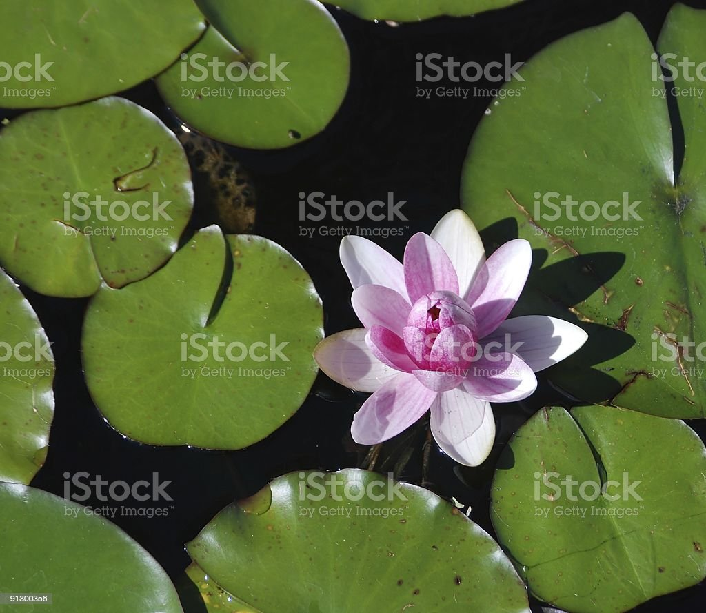 Pink water-lily royalty-free stock photo