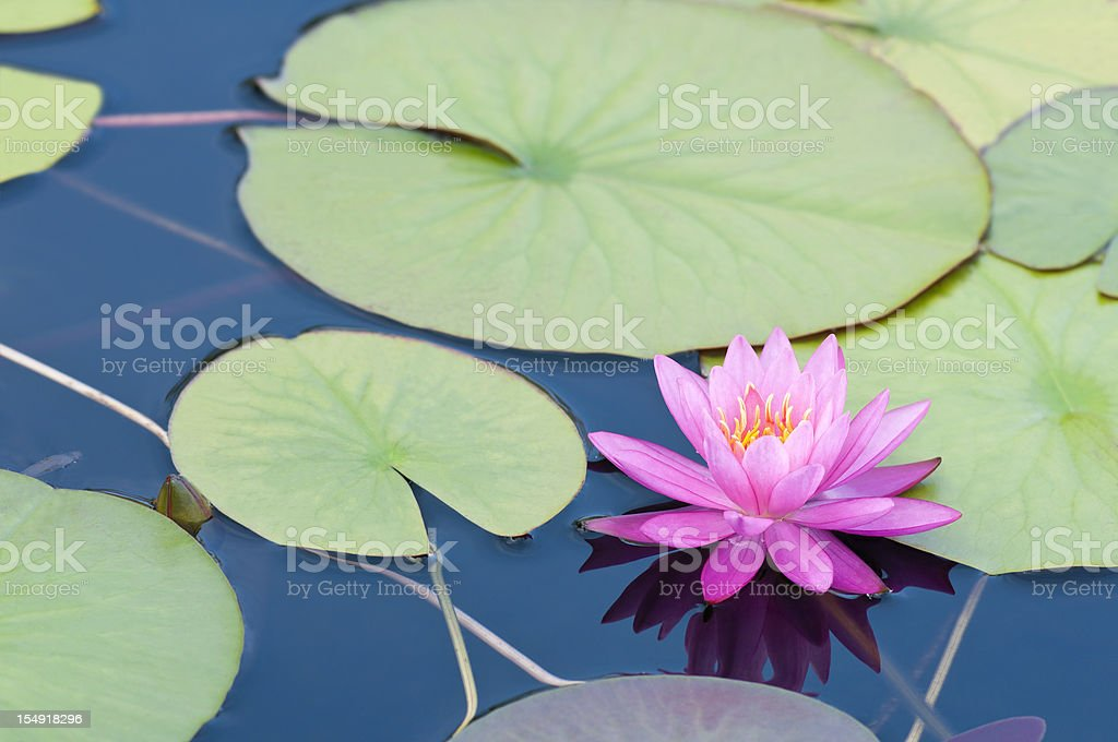 Pink waterlily with large green water leaves - II royalty-free stock photo