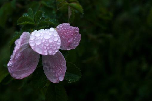 Natteroze Bloemen Stockfoto en meer beelden van Blad