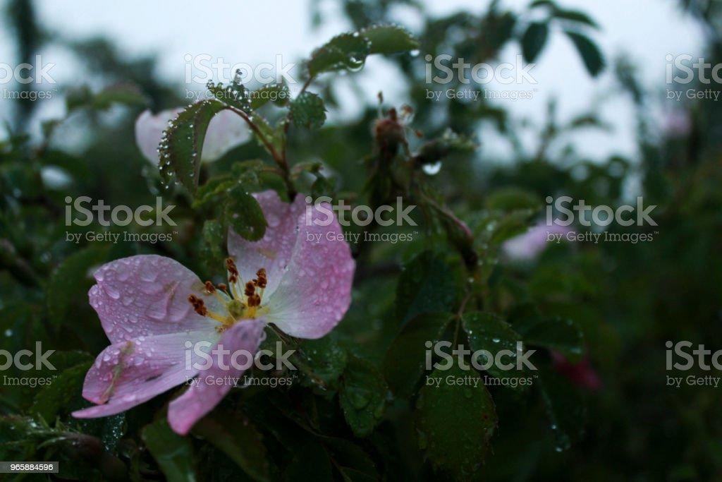 Natte-roze bloemen - Royalty-free Blad Stockfoto