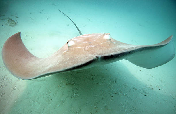 Pink Whipray/Stingray Approaching stock photo