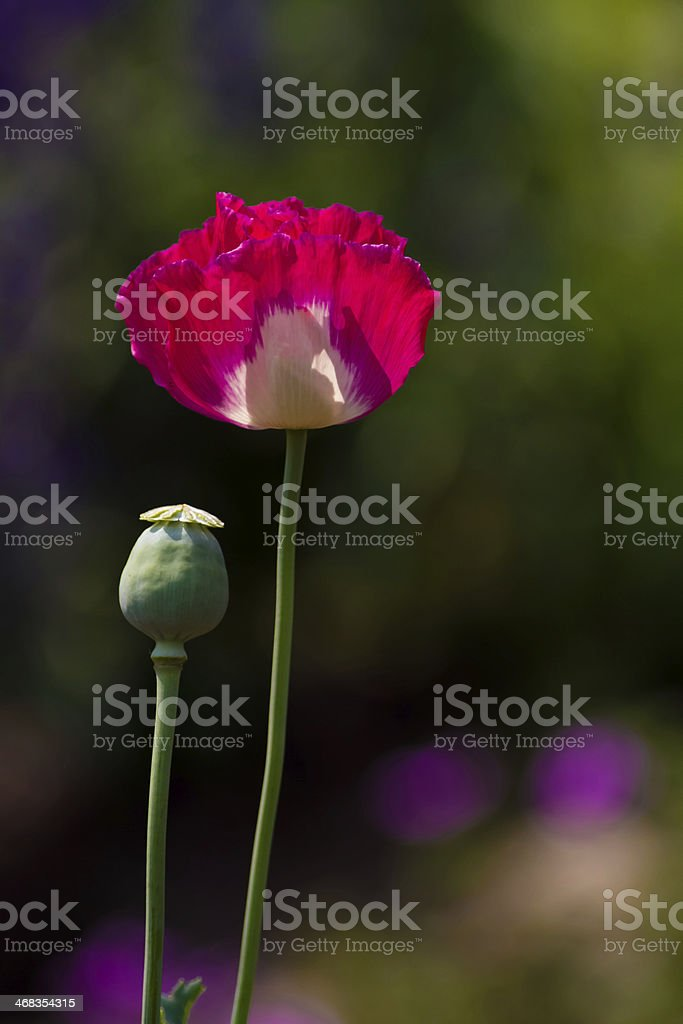 Pink & White Colored Poppy Flowers royalty-free stock photo