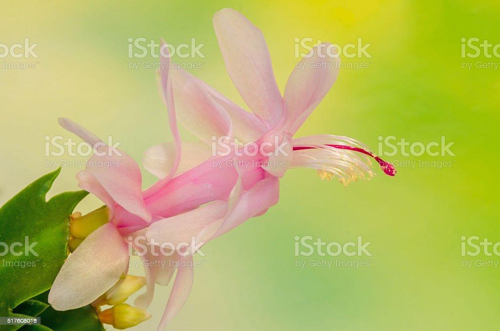 Pink, white Schlumbergera, Christmas cactus or stock photo