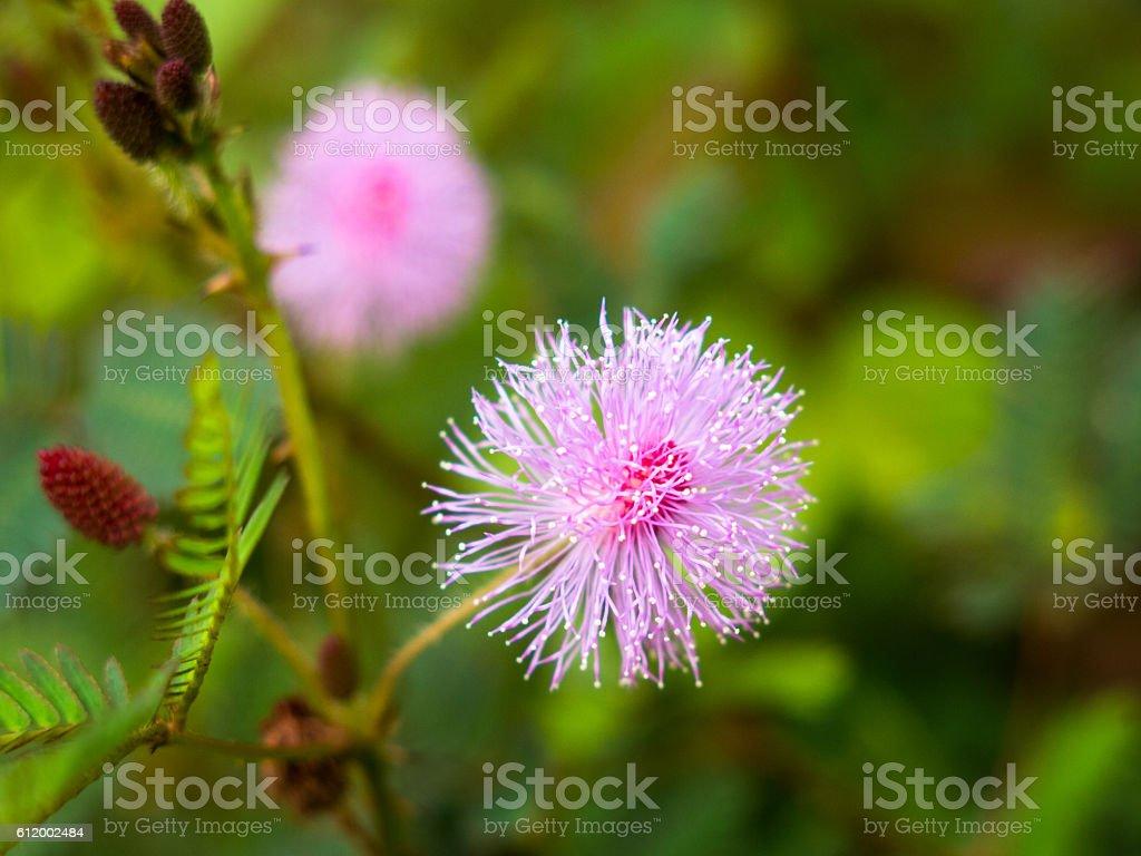 Pink Wild Field Thistle Cursed Forest Flower Cirsium arvense stock photo