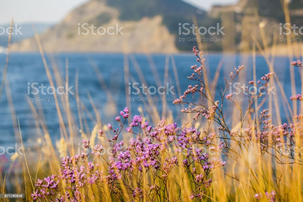 Pink wild flowers and sun light. Ocean coast and flowers stock photo