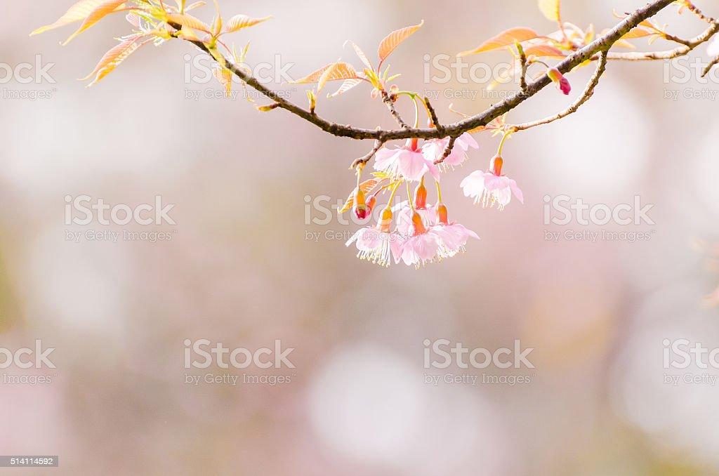 Pink wild Himalayan cherry flower background stock photo