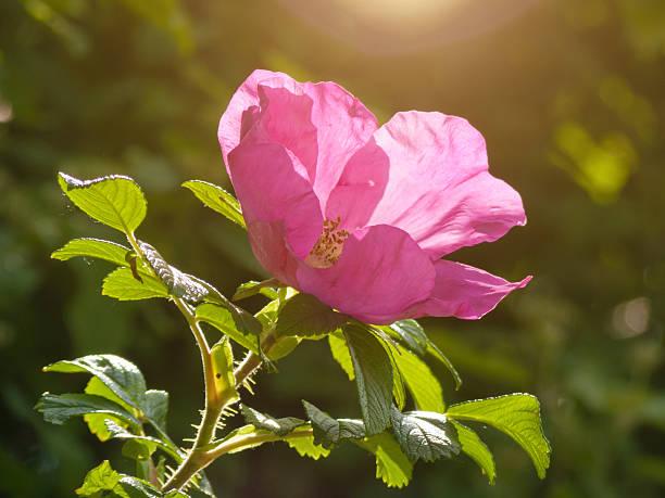 pink wild rose flower in sunlight pink wild rose flower in sunlight wild rose stock pictures, royalty-free photos & images