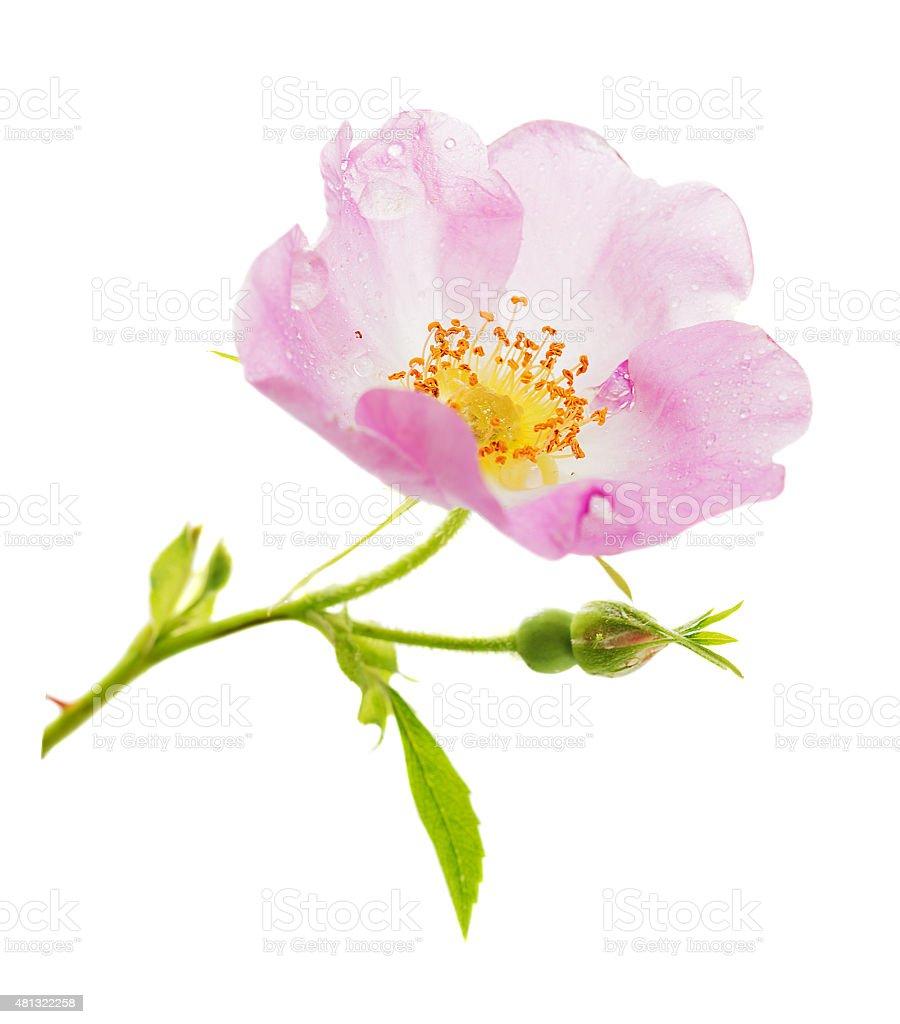 Pink wild rose flower stock photo