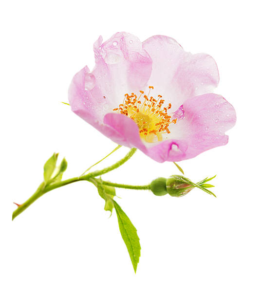 Pink wild rose flower Flower of pink wild rose, covered with dew drops, isolated on white background dog rose stock pictures, royalty-free photos & images