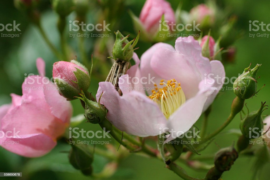 Pink Wild Rose Flower stock photo