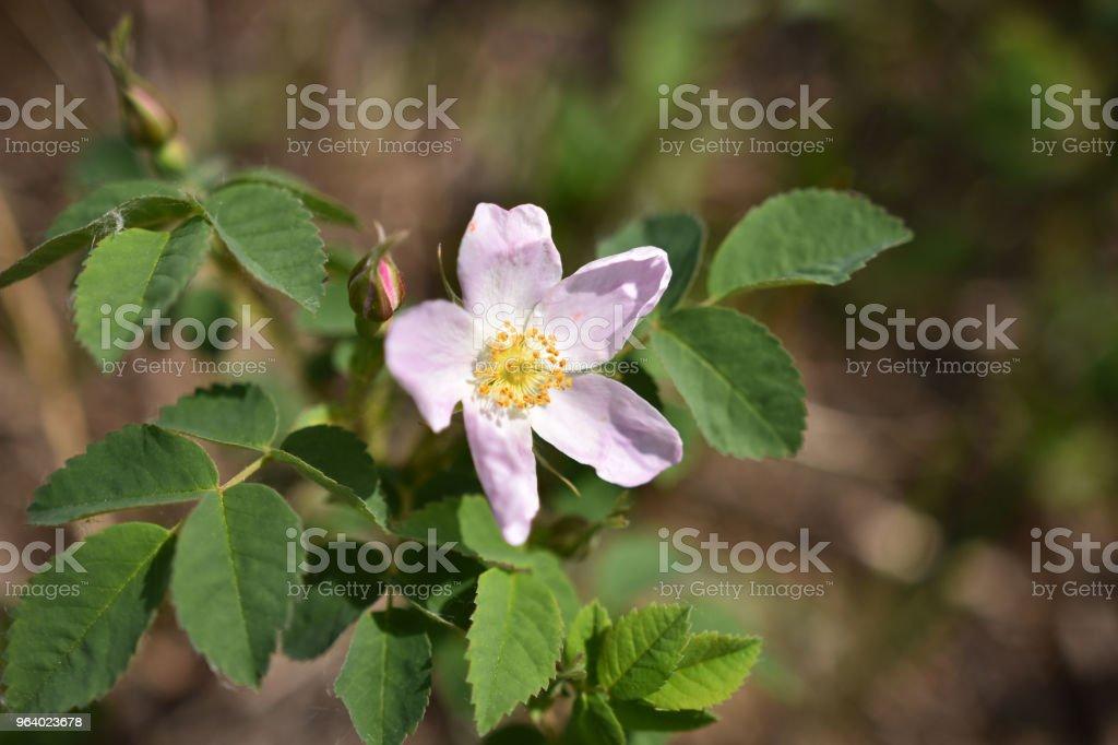 Pink Wild Rose Flower - Royalty-free Alberta Stock Photo