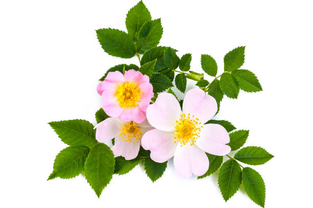 Pink wild rose or dog rose flowers with green leaves. Over white background Pink wild rose or dog rose flowers with green leaves. Over white background wild rose stock pictures, royalty-free photos & images