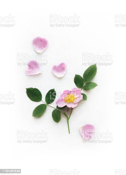 Pink wild rose petals and leaves isolated on a white canvas with picture id1164092648?b=1&k=6&m=1164092648&s=612x612&h=0dtmz fkf01zkyrcts 99xumsmhet2yrkwiznckniu8=