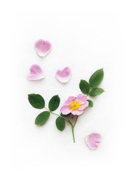 Pink Wild Rose, petals and leaves isolated on a white canvas, Background with Real Shadow. Garden Flowers in frame Pink Wild Rose, petals and leaves isolated on a white canvas, Background with Real Shadow. Garden Flowers in frame. Flat lay, Top View, Close up with Space for Text, Poster A3 format. wild rose stock pictures, royalty-free photos & images