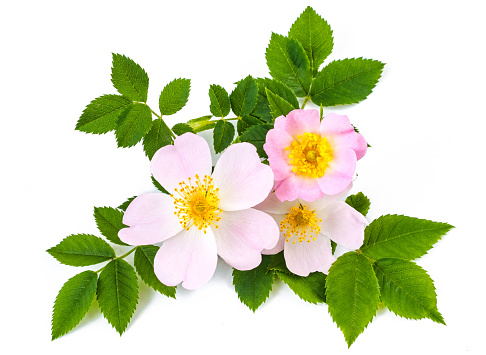 Pink wild roses or dog roses flowers with green leaves. On white background