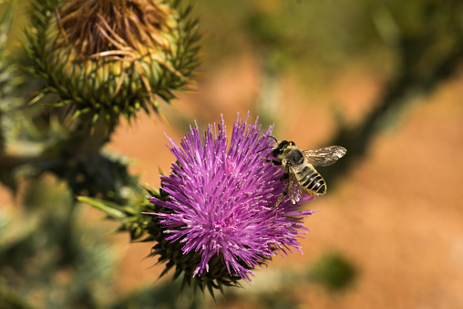pink wild thistle with bee