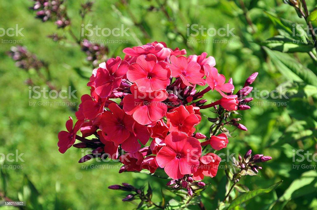 Pink wildflower – Foto