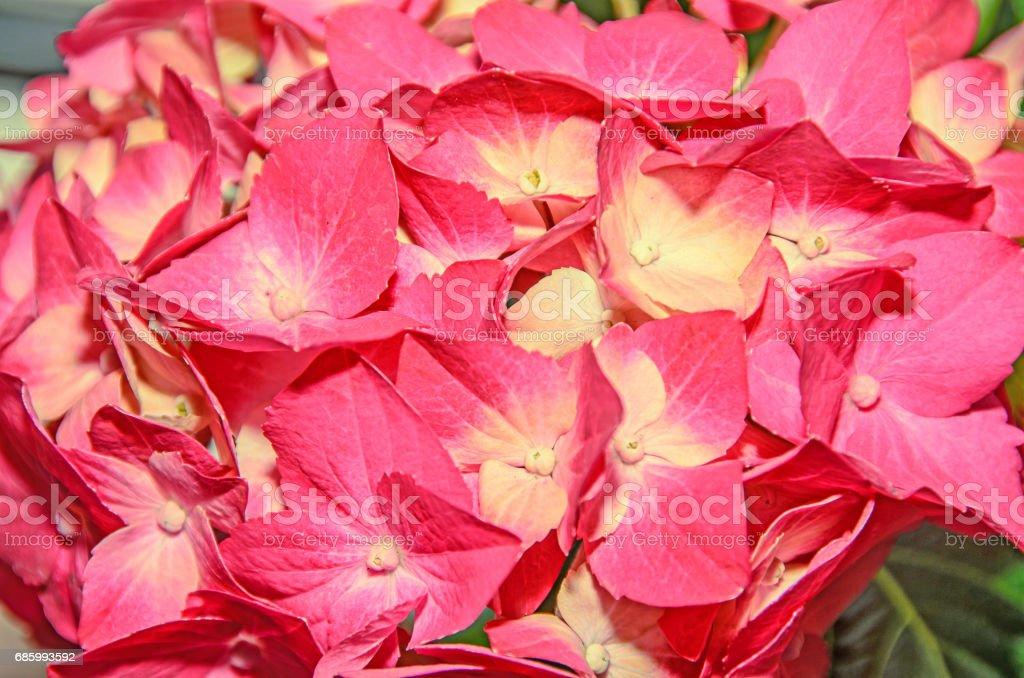 Pink with yellow hydrangea flowers hortensia petals close up bokeh pink with yellow hydrangea flowers hortensia petals close up bokeh royalty free stock mightylinksfo