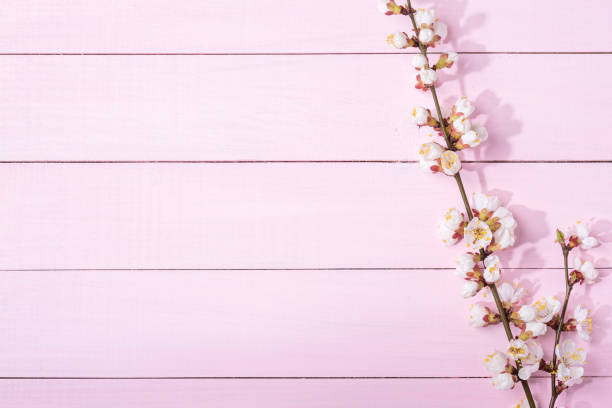 Pink  wooden background with branches of blossoming apricot and copy space for text. stock photo