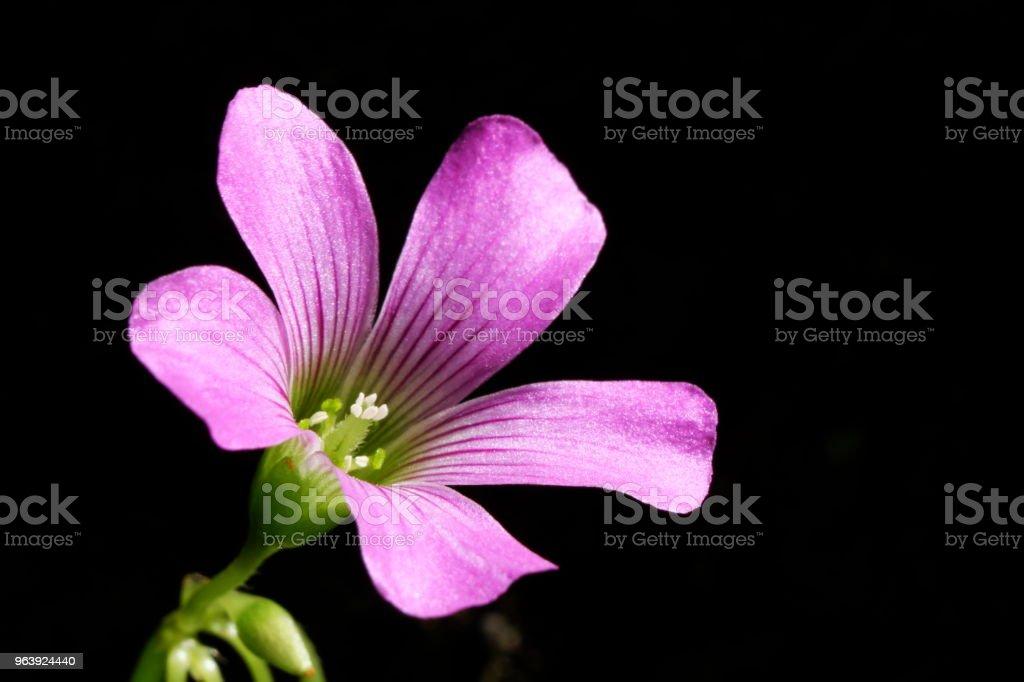 pink woodsorrel - Royalty-free Beauty Stock Photo