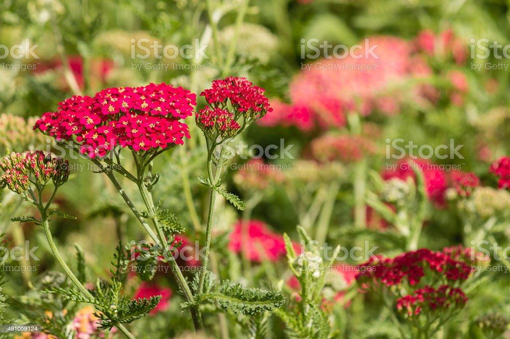 pink yarrow flowers stock photo