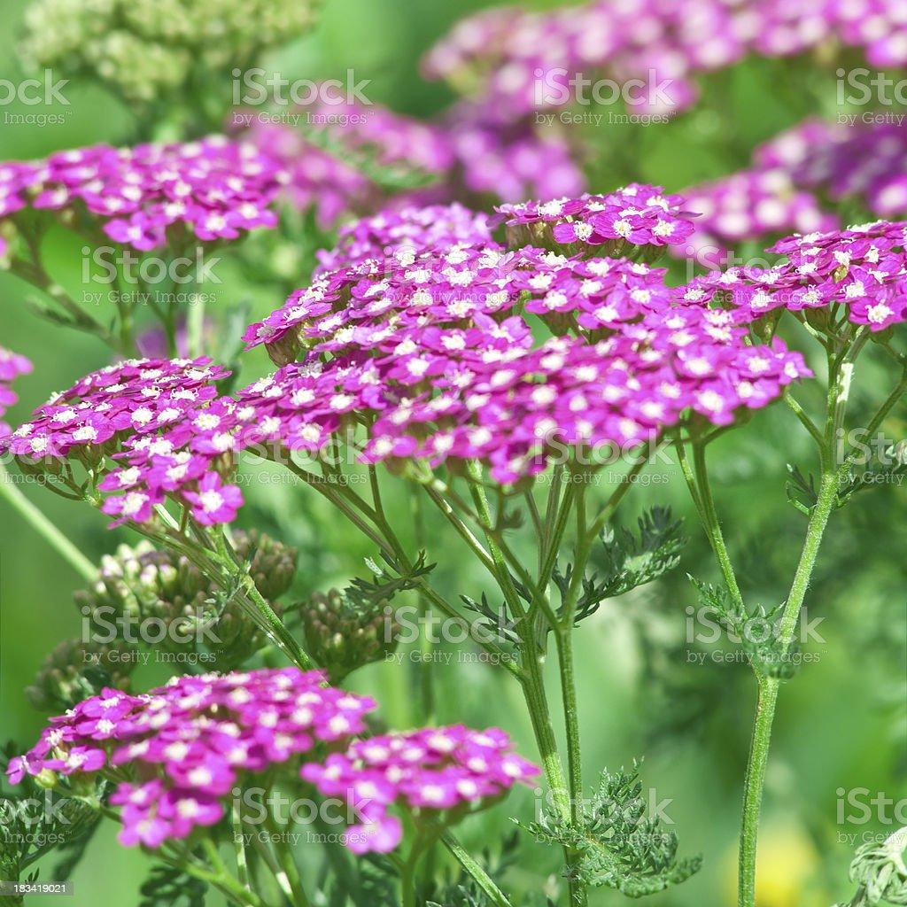 Pink Yarrow flowers (Achillea millefolium) - VI royalty-free stock photo