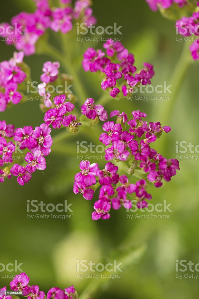 Pink Yarrow royalty-free stock photo