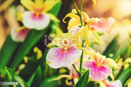 Blooming Pink Yellow Cattleya orchid