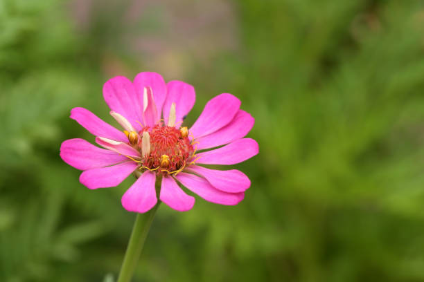 Pink zinnia flower over green backgrounds, close-up shot stock photo