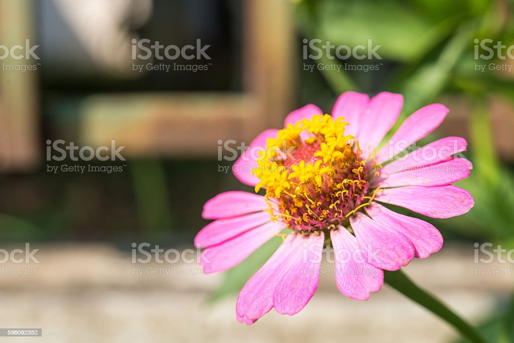 Pink Zinnia Tree , Pink Zinnia closeup , Focus top carpel. Lizenzfreies stock-foto