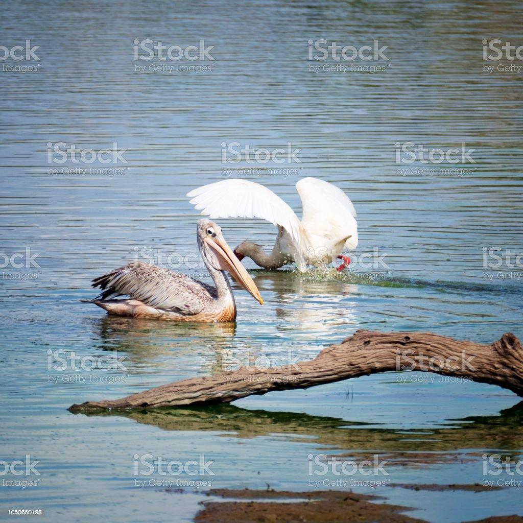 Rose-backed pelican et spatule d'Afrique recherche de nourriture dans le lac - Photo